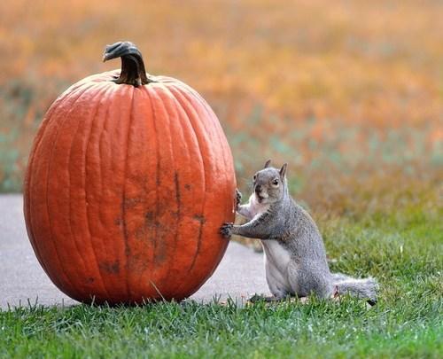 squirrels noms squee pumpkins - 6751711488