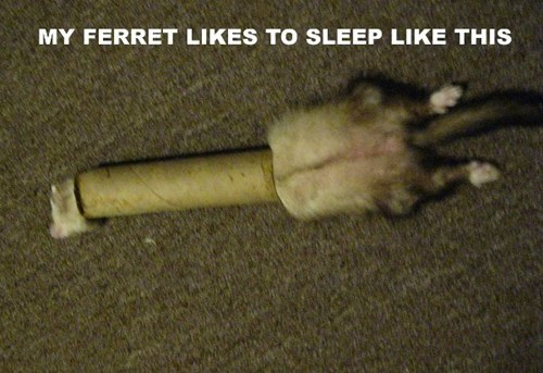 comfort is relative,wtf,stuck,ferrets,captions,sleeping,toilet paper rolls