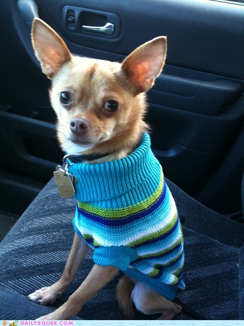 dogs,reader squee,pets,car,sweater,chihuahua,squee