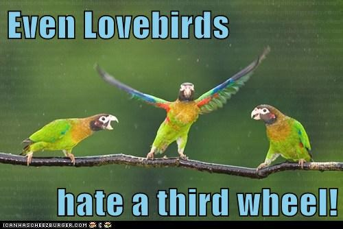 hate,parrots,annoying,third wheel,lovebirds