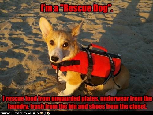 rescue dog beach corgi silly life jacket - 6756439296