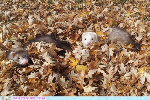 autumn,falling leaves,reader squee,ferrets,squee,fall