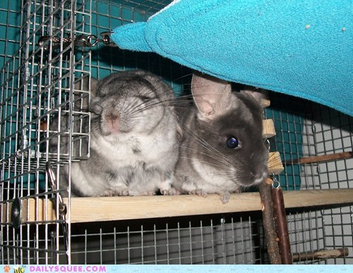 reader squee bonded pet love squee couple chinchilla
