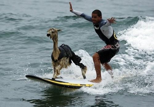 llama surfing animals alpaca - 6760124416