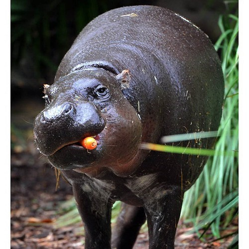 hippos snacks eating noms squee hippopotamus - 6760602368