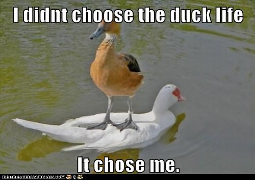 standing,chose me,ducks,swimming,thug life