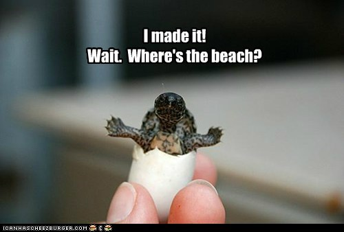 baby,beach,hatched,egg,confused,where,turtle