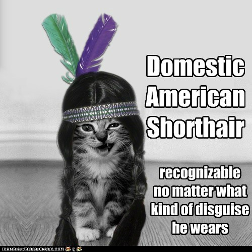 Domestic American Shorthair.