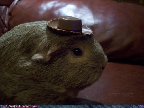 guinea pigs,cowboy hat