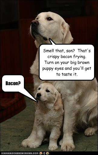 dogs,puppies,puppy eyes,golden retriever,son,bacon,Father