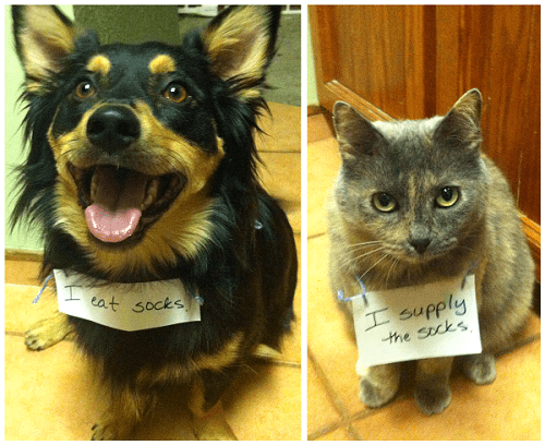 dogs,naughty,socks,destruction,Interspecies Love,dog shaming,shaming,cat shaming,goggies r owr friends,eating,Cats