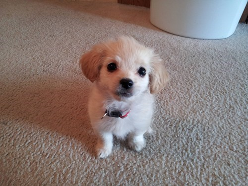 poodle,dogs,puppy,lhasa apso,mixed breed,cyoot puppy ob teh day