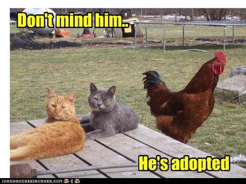 chicken,rooster,captions,adopted,Cats