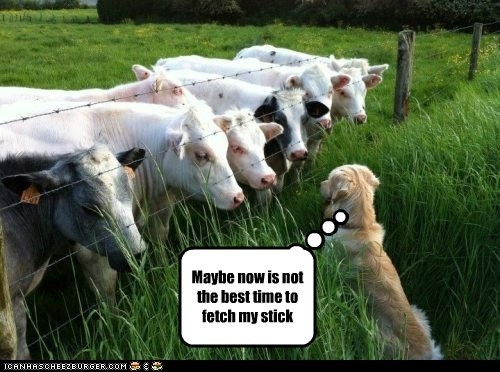 fetch dogs scared blocked cows not the best - 6766205440