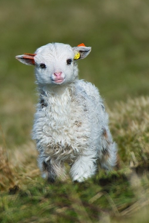 Babies floof baby mary had a little lamb fleece sheep lamb squee