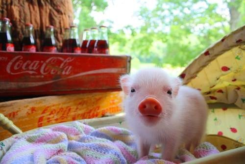 Babies piglets carriages blankets pig squee - 6766776320