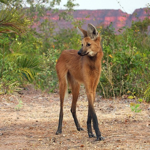 maned wolf creepicute long legs squee wolf - 6766784512