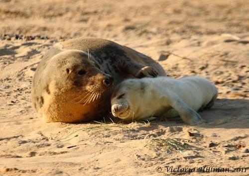 Babies mama seals beach naps sand squee - 6766786560
