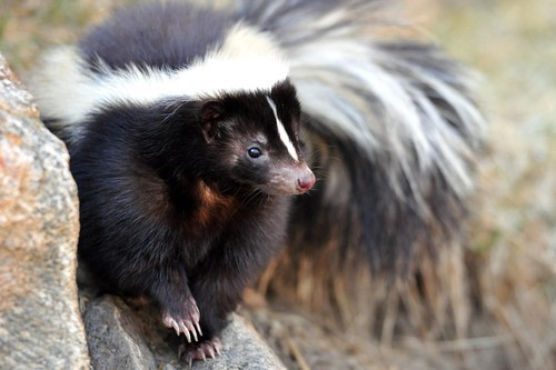 skunks Fluffy squee stinky - 6766792192