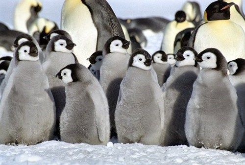 baby chicks birds penguins squee spree squee - 6766948096