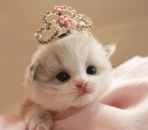 cyoot kitteh of teh day kitten tiny crowns Cats princesses tiaras - 6767140864