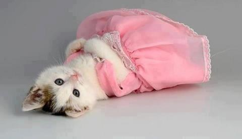 dresses,cyoot kitteh of teh day,fancy,kitten,pink,dressed up,Cats