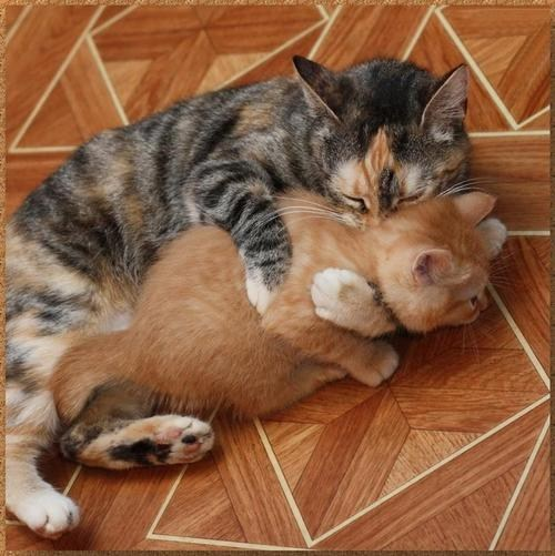 cyoot kitteh of teh day,kitten,hugging,moms,two cats,hugs,Cats