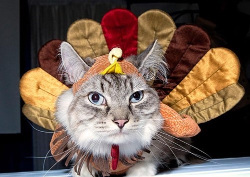 Thanksgiving Kitteh of teh Day: HAPPY Thanksgiving?  Do I Look HAPPY to You?!?!