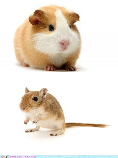 versus guinea pigs gerbils face off squee spree squee - 6767150336
