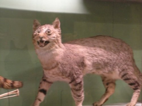 cat pets taxidermy weird derp Hall of Fame best of week - 6767225856