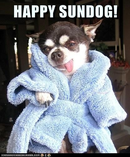 bathrobe dogs happy sundog chihuahua Sundog