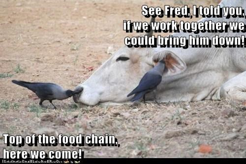 cow,crows,work together,food chain,feast,eating