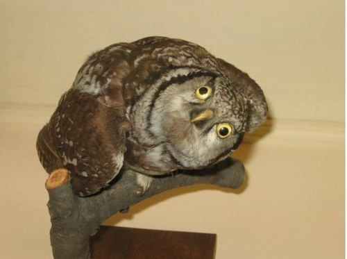 Owl,taxidermy,derp