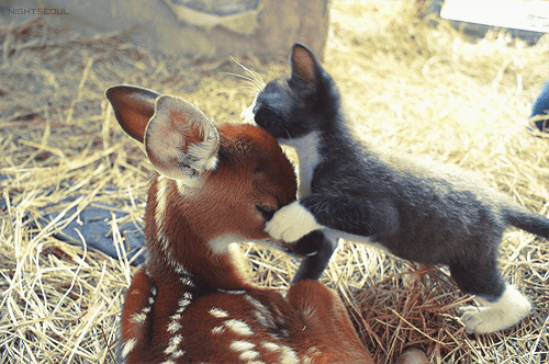 cyoot kitteh of teh day,kitten,fawns,Interspecies Love,deer,kissing,Cats