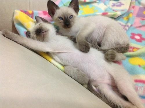 cyoot kitteh of teh day tummies kitten two cats cuddling Cats sleeping - 6770140672