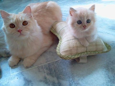 cyoot kitteh of teh day kitten pillows moms Cats booster seat - 6770146048