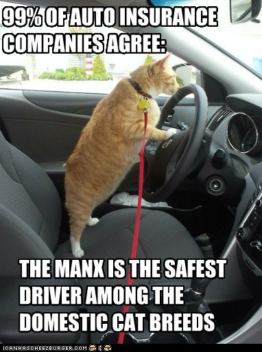 99% OF AUTO INSURANCE COMPANIES AGREE: THE MANX IS THE SAFEST DRIVER AMONG THE DOMESTIC CAT BREEDS
