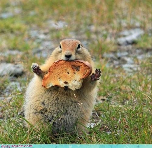 bread lolwork food noms squee Prairie Dogs - 6772299520