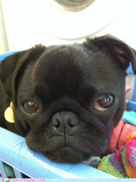 laundry dogs pug reader squee pets puppy eyes squee