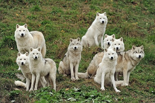 wolves hungry wolf pack squee