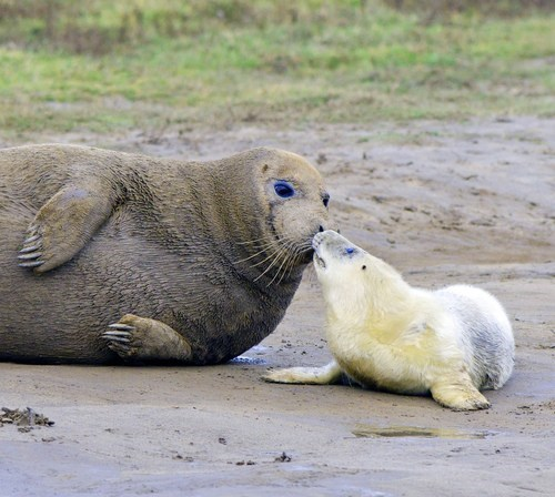 baby sealion nose boop beach mommy squee