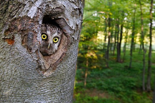 peeping,big eyes,trunk,birds,Owl,tree,squee,who goes there