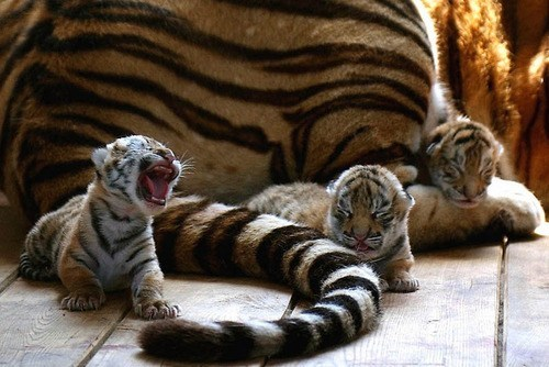 Babies tigers mama cubs squee - 6772919040