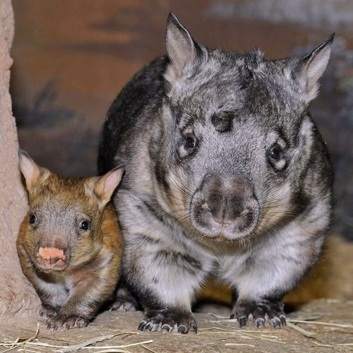 Babies,mama,wombats,squee
