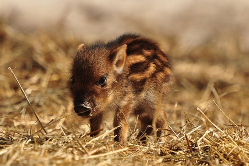 Babies boars piglet squee - 6772927232