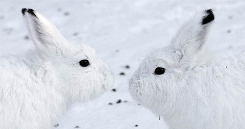 Bunday camouflage snow winter rabbit bunny squee - 6773143040