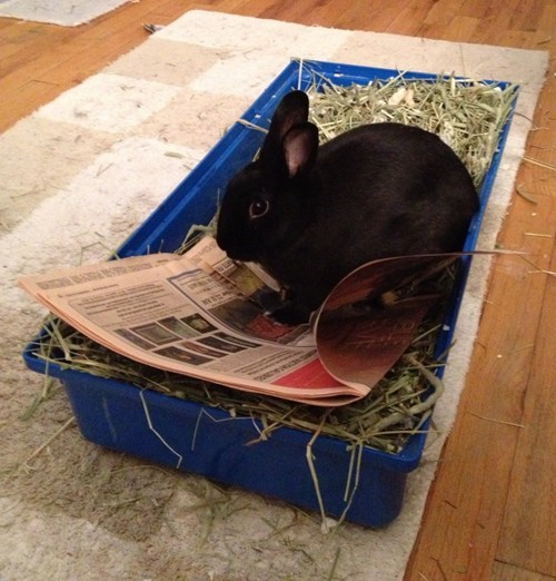 Bunday,litter box,rabbit,bunny,squee,news paper