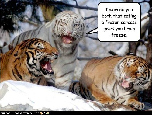 tigers,cold,brain freeze,frozen,carcass,i warned you