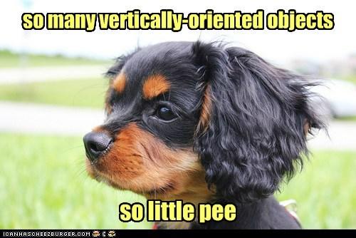spaniel puppy peeing - 6776907776