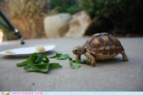 reader squee tiny tortoise pet noms squee delightful insurance - 6778382592